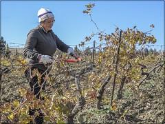 PODA DEL VIÑEDO (BLAMANTI) Tags: iñedos viñas poda jerez de la frontera el majuelo castillo macharnudo personas trabajos canon powershot sx60