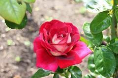 Stratford Ontario ~ Canada ~  Rose Flower ~ Shakespearean  Garden Botanical  ~ Heritage