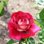 Stratford Ontario ~ Canada ~  Rose Flower ~ Shakespearean  Garden Botanical  ~ Heritage thumbnail