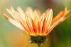 Inner Glow (mclcbooks) Tags: flower flowers floral macro closeup daisy daisies denverbotanicgardens colorado gazania gazanias