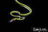 Vine Snake (Halvard Aas Midtun) Tags: snake bali indonesia reptile canon canon7d wildlife nature animal animalplanet planetanimal ngc dslr