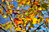 Outono - Autumn (Gato M) Tags: forest autumn outono otoño vigo galicia galiciaarde sunset solpor bosque folla hojas arbol tree arce leaf coruxo