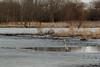 Blue heron ice fishing (famasonjr) Tags: blue heron ice wetland bog canoneos7d usa indianna west lafayette celery
