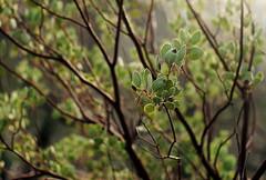 manzanita (lawatt) Tags: manzanita leaves branches chaparral yosemite sonya7 pentaxlens 35mm