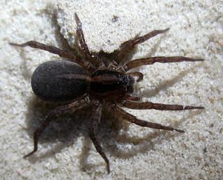 Трохоза (Trochosa sp.)