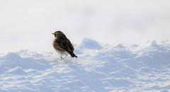 Horned Lark. (Gillian Floyd Photography) Tags: horned lark winter bird snow