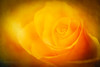 Mellow yellow (Karsten Gieselmann) Tags: 60mmf28 blumen blüten em5markii gelb mzuiko mehrfachbelichtung microfourthirds natur olympus pflanzen rose textur blossom doubleexposure flower kgiesel m43 mft nature texture yellow burglengenfeld bayern deutschland