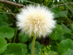 Puffball (jo.elphick) Tags: northhead moruya nsw australia beach whiteflower beautifulweeds greenleaves