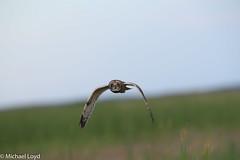 Short-eared Owl (mobull_98) Tags: shortearedowl owl
