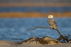 Snowy morning (Khurram Khan...) Tags: snow snowyowl wildlifephotography wildlife wild wwwkhurramkhanphotocom winter sunrise morning perch young goldenhour khurramkhan ilovewildlife iamnikon nikonnofilter