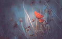 Wildflower (Dhina A) Tags: sony a7rii ilce7rm2 a7r2 minolta rf rokkorx 250mm f56 mirror reflex minolta250mmf56 md prime rokkor bokeh wildflower