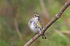 Yellow-rumped Warbler (Alan Gutsell) Tags: texasbirds birds photo bearcreekpark winter migration alan wildlife nature canon yellowrumped warbler yellowrumpedwarbler songbird