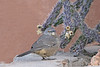 Curve-billed Thrasher (Alan Gutsell) Tags: birds birding wildlife nature photo new mexico newmexico santafe alan wildlifephoto curvebilled thrasher curvebilledthrasher curve billed