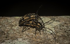 Ancita crocogaster (dustaway) Tags: arthropoda insecta coleoptera cerambycidae lamiinae ancita ancitacrocogaster smallacacialongicorn australianbeetles longicornbeetle australianinsects clagirabaforestreserve clagiraba coomeravalley sequeensland queensland australia