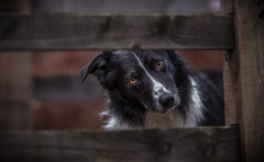 """"""" ... Are you the Troll ? """"  ! (JJFET) Tags: border collie dog sheepdog herding"""