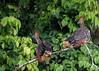 Hoatzin (3 of 5) (Tris Enticknap) Tags: nikkor300mmf4epfedvrlens nikond750 peru hoatzin opisthocomushoazin tambopata amazonbasin bahuajasonenenationalpark
