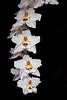 Oncidium Ardentissimum (Nurelias) Tags: mcbeans cooksbridge england uk odontoglossum breeding nursery famous colorful nikon d7100