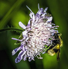 Auvergne -Village Pegotard  - bee on flower (Bobinstow2010) Tags: bee insect fly purple pollen