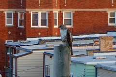 city hawk on the hunt (KevinIrvineChi) Tags: hawk red tailed city alley apartmentbuildings pole perch perched bird predator raptor sunny outdoors summer chicago illinois albanypark brick rooftops sony dscrx100 foot claw hunt hunting hunter back backyards green siding 3 flat 2 two three windows june 2016 yellow chimney eye beak seeing watching being watched feathers chest chickenhawk redtailedhawk