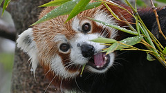 Kleiner Panda (karinrogmann) Tags: kleinerpanda katzenbär redpanda pandaminore zooschönbrunn wien explore4