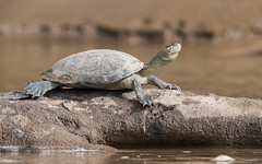 Yellow-spotted River Turtle (tickspics ) Tags: amazonbasin iucnredlistvulnerable manú manúbiospherereserve manúnationalpark manúriver peru podocnemisunifilis southamerica tropicalrainforest turtles yellowspottedriverturtle manuriver