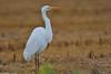 Great White Egret - Garça-branca-grande (anpena) Tags: birds egrets greatwhiteegret