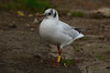 Yellow 2CA6. (stonefaction) Tags: black headed gull ringed swannie ponds dundee scotland birds nature wildlife