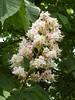 FLEUR DE MARRONNIER (claudine.cribier25) Tags: fleur de marronnier