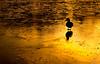 Waddling on Gold (Peter Quinn1) Tags: mallard longshawestate derbyshire nationaltrust ice duckpond winter december