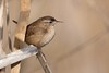 Wren / Zaunkönig (@Thomas Neuber) Tags: wren zaunkönig vogel bird avenches natur wildlife animal