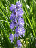 WestPEI40 (alicia.garbelman) Tags: canada princeedwardisland bottlehouses flowers monkshood