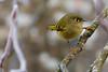 Ruby-crowned Kinglet (JohnReynolds2012) Tags: 2018 vancouver bc wildlife winter bird birds pittmeadows canada inaturalist animals coquitlam britishcolumbia ca