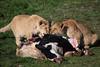 African lion cubs @ Wildlands Adventure Zoo Emmen 25-03-2017 (Maxime de Boer) Tags: african lion lioness cub afrikaanse leeuw leeuwin welpje leeuwenwelpje panthera leo big cats katachtigen wildlands adventure zoo emmen animals dieren dierentuin dierenpark gods creation schepping creator schepper genesis