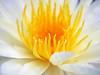 Nymphaea 'First Love' HxT Waterlily บัวลูกผสมข้ามสกุลย่อย 'เฟิร์สเลิฟ' 3 (Klong15 Waterlily) Tags: hxtwaterlily waterlily isgwaterlily nymphaea wahgarden lotusflower firstlovewaterlily บัว ดอกบัว บัวลูกผสมข้ามสกุลย่อย บัวผัน บัวฝรั่ง