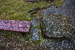 Sakura Fubuki (DanÅke Carlsson) Tags: japan japanese sakura fubuki faded cherry blossom bench stone ground fallen petals