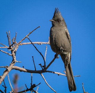 Phainopepla Chilao Angeles Crest San Gabriel Mountains California 366