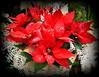 Red Christmas Star (swetlanahasenjäger) Tags: weihnachtsstern dezemberblume christmasstar decemberflower adventzeit weihnachtszeit coth5 fotografíavisión сoth alittlebeauty thesunshinegroup damniwishidtakenthat bestofdamniwishidtakenthat saariysqualitypictures derkohlenpottinfarbe weloveallflowers super~sixbronze super~sixsilver super~sixgold super~sixart