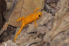pingo d`ouro - brachicephalus pitanga (ricardo japur) Tags: sapo anuro pingo douro wild nature serra do japi
