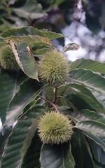 chestnut burs (rentavet) Tags: dynax505si konicacenturia400asa analog 9441