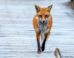 RED FOX ( male ) (imeshome) Tags: fox red male boardwalk nature delta wildwood lake walking larry friend hunting morning