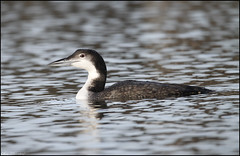 Great Northern Diver (Gavia immer) (christhornton238) Tags: reflection reflecting water shimmering light blue great northern diver stunning capture christhornton suffolk suffolkbirds oultonbroad east eastcoast eastanglia bird canon sigma 7d top25naturesbeauty inexplore