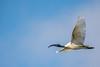 Black Headed Ibis (isurumd) Tags: black headed ibis