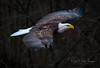 Fierce (~ Bob ~) Tags: americanbaldeagle tamron baldeagle nikon eliteraptors d500 feisol washingtonstate animal trees majestic birdofprey feathers nikond500 amazingnature bird pacificnorthwest raptor forest beautiful