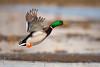 Take-off... (Silvio Sola) Tags: mallard takeoff uccello bird palude swamp silviosola centrocicogneracconigi