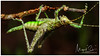 Moss Mimic Katydid / Grillo (Panama Birds & Wildlife Photos) Tags: macro katydid grillo tettigonnidae