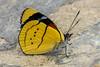 Perisama humboldtii  GUÉRIN-MÉNEVILLE, 1844 (PriscillaBurcher) Tags: perisama perisamahumboldtii nymphalidae brushfootedbutterfly mariposasdecolombia butterfliesfromcolombia laceja colombia priscillaburcher l1510417