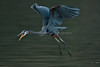 DelValle_121017_075 (kwongphotography) Tags: delvalleregionalpark delvalle livermore calif ca birds wildlife nature wildlifephotography naturephotography kennethwongphotography kwongphotography greatblueheron heron birdsinflight unitedstates