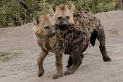 Playful Hyena Pups, Chobe Botswana (donnatopham) Tags: botswana savute hyenapuppies