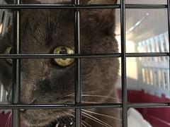 Vet Day (sjrankin) Tags: 12december2017 edited animal cat bonkers carrier catcarrier catcage bars closeup kitahiroshima hokkaido japan