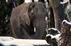 african elephant Ouwehands BB2A0992 (j.a.kok) Tags: olifant elephant afrikaanseolifant africanelephant africa afrika animal ouwehands mammal zoogdier dier ouwehandsdierenpark herbivore snow sneeuw